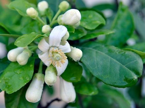 Triệt lông nhanh gọn với nguyên liệu tự nhiênnhư lá bưởi, chanh, mật ong,... được nhiều eva yêu thích.
