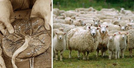 Nhau thai kỳ được hình thành ở giai đoạn đầu tiên của con cừu, chứa rất nhiều dưỡng chất nên có tác dụng làm đẹp da hiệu quả